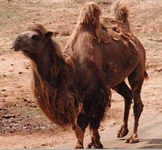 Slikoviti kaladont - Page 6 Camel